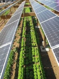Crops with solar panels
